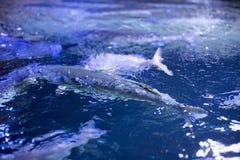 Рыбы в предпосылке танка Стоковое Изображение