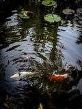Рыбы в пруде лотоса Стоковая Фотография RF
