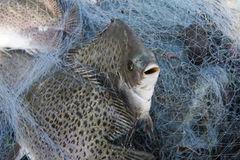 Рыбы в рыболовной сети стоковые изображения