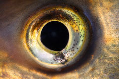 рыбы глаза Стоковые Изображения RF