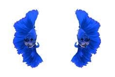 Рыбы голубого дракона сиамские воюя, рыбы betta изолированные на белизне Стоковые Изображения