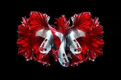 Рыбы голубого дракона сиамские воюя, рыбы betta изолированные на черноте Стоковое Изображение RF