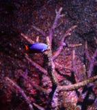 рыбы голубого дьявола Стоковое Изображение