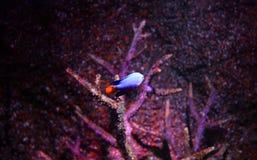 рыбы голубого дьявола Стоковое Изображение RF