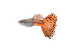 Рыбы гуппи изолированные на белой предпосылке стоковое изображение rf