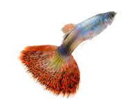 Рыбы гуппи на белой предпосылке стоковые фото