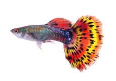 Рыбы гуппи на белой предпосылке стоковая фотография