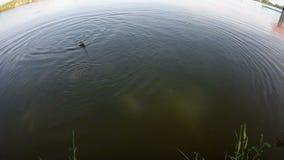 Рыбы едят приманку рыболова сток-видео