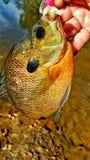 Рыбы леща Стоковая Фотография