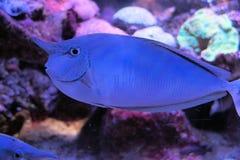 Рыбы единорога в аквариуме Стоковое Фото
