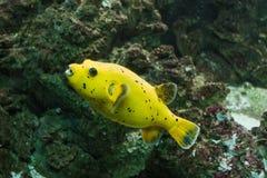Рыбы желтого цвета Arothron лимона стоковые изображения