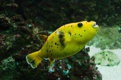 Рыбы желтого цвета Arothron лимона стоковое изображение