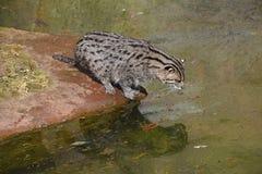 Рыбы звероловства и наблюдать кота рыбной ловли в воде стоковые изображения rf