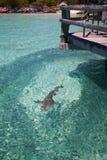 Рыбы звероловства акулы рифа в чистой воде, острове Австралии цапли Стоковое Изображение RF