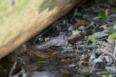 Рыбы змейки moccasin воды заразительные в болоте Стоковая Фотография RF