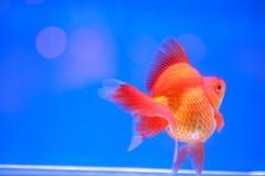 Рыбы золота в садке для рыбы стоковые изображения