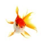 Рыбы золота Стоковое Изображение