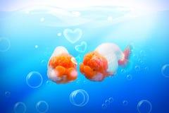 Рыбы золота в влюбленности Стоковые Фото