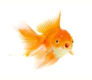 Рыбы золота стоковые фото
