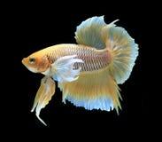 Рыбы золота сиамские воюя, рыбы betta на черном backgro Стоковое фото RF