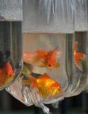 Рыбы золота Стоковое фото RF