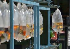 Рыбы золота Стоковая Фотография