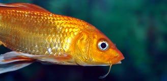 рыбы золотистые Стоковое Изображение