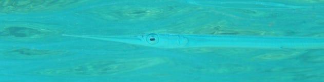 Рыбы иглы Стоковая Фотография