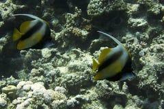 Рыбы идола Коралловый риф стоковое изображение