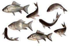 рыбы изолируют комплект Стоковое фото RF