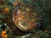 Рыбы дикобраза говоря здравствуйте! Стоковые Изображения
