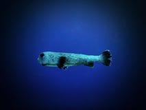 Рыбы дикобраза Стоковое Фото