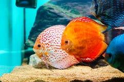 Рыбы диска Стоковые Фотографии RF