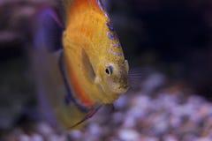 Рыбы диска Стоковые Изображения