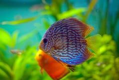 Рыбы диска Стоковые Фото
