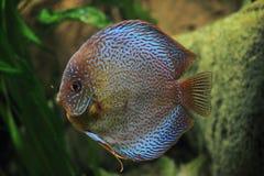 Рыбы диска Стоковое Фото