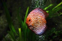 Рыбы диска Стоковое фото RF