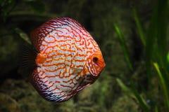 Рыбы диска Стоковая Фотография
