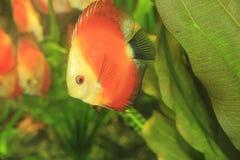 Рыбы диска Стоковая Фотография RF