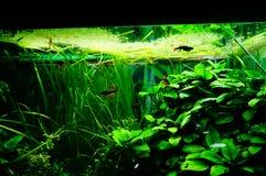 Рыбы и вегетация аквариума Стоковая Фотография RF