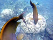 Рыбы и кораллы коралла в голубой морской воде Хирург Брайна и апельсина удит заплывание над белым коралловым рифом Стоковые Фотографии RF