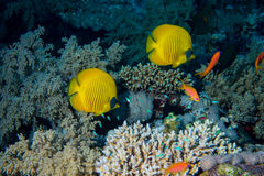 Рыбы и кораллы на рифе Стоковое фото RF