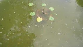 Рыбы и лотос в пруде видеоматериал