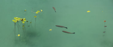 Рыбы и лотос Стоковое фото RF