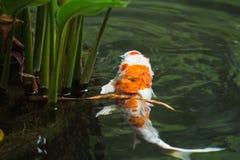 Рыбы и природа карпа Стоковые Изображения