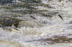 Рыбы идя перед для порождать Стоковое Изображение