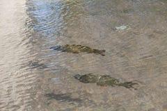 Рыбы карпа в воде Стоковые Изображения