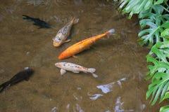 Рыбы карпа в озере Стоковая Фотография