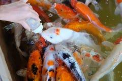 Рыбы карпа питания стоковые изображения rf