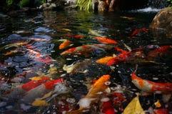 Рыбы карпа Стоковая Фотография